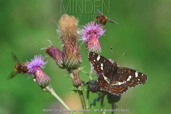 Second generation Map butterfly (Araschnia levana) and Hoverflies on thistle  -  Philippe Clement/ npl