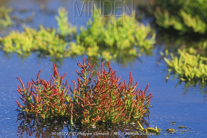 Marsh samphire turning red (Salicornia europaea) Belgium  -  Philippe Clement/ npl