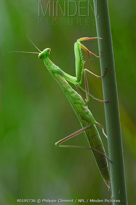 European praying mantis (Mantis religiosa) France  -  Philippe Clement/ npl