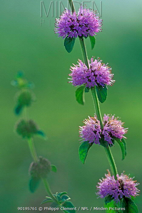 Water mint (Mentha aquatica) France  -  Philippe Clement/ npl
