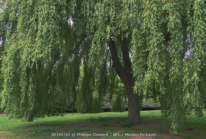 Weeping willow in park (Salix babylonica) Belgium  -  Philippe Clement/ npl