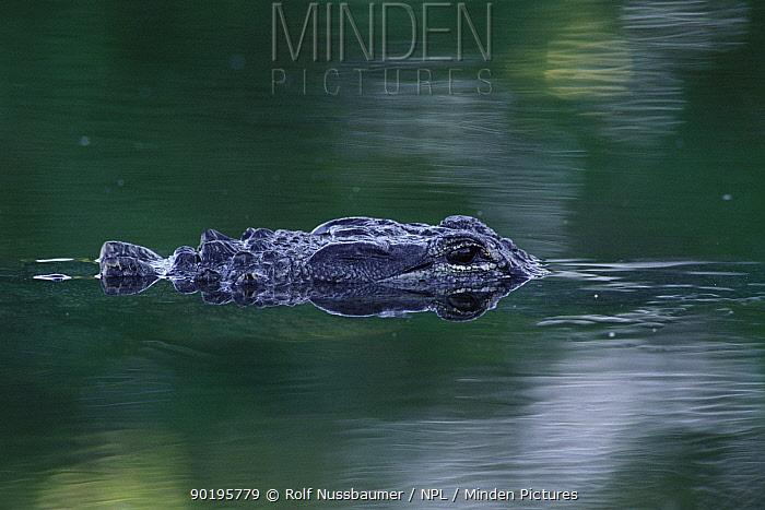 American alligator submerged (Alligator mississipiensis) Sanibel Is, Florida, USA  -  Rolf Nussbaumer/ npl