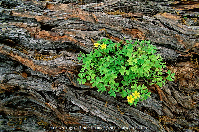 Yellow wood sorrel (Oxalis dillenii) growing in bark of Mesquite tree, Texas, USA  -  Rolf Nussbaumer/ npl