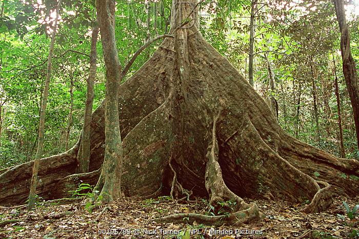 Buttress roots of Nakatambol tree, Vanuata, Micronesia (Dracontomelon vitiense)  -  Nick Turner/ npl