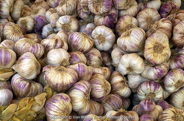 Garlic bulbs (Allium sativum) France  -  Dan Burton/ npl