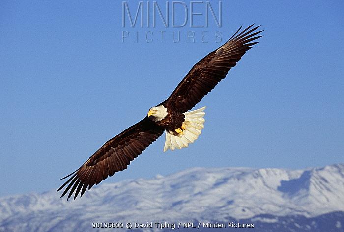 American bald eagle soaring (Haliaeetus leucocephalus) Alaska  -  David Tipling/ npl