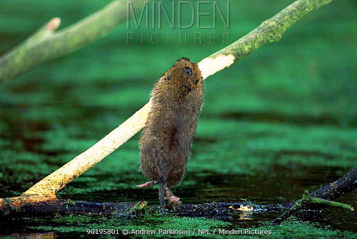 Water vole stripping bark from sycamore branch (Arvicola terrestris) UK, Derbyshire  -  Andrew Parkinson/ npl