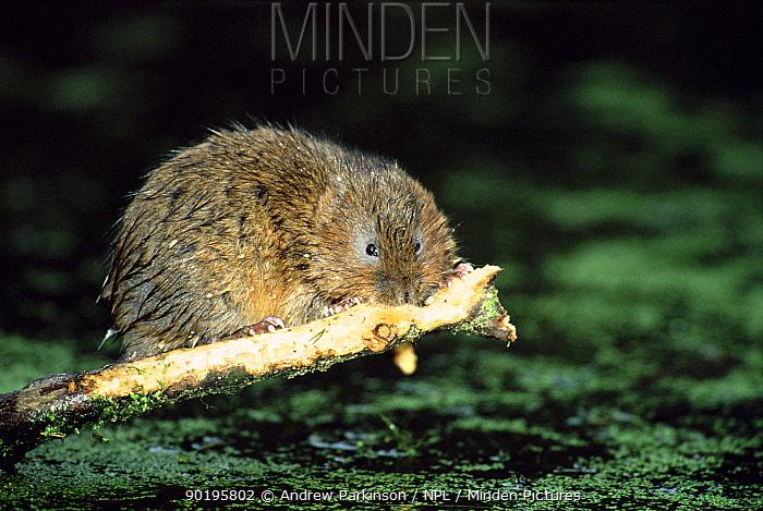 Water vole stripping bark from sycamore branch (Arvicola terrestris) Derbyshire, England  -  Andrew Parkinson/ npl