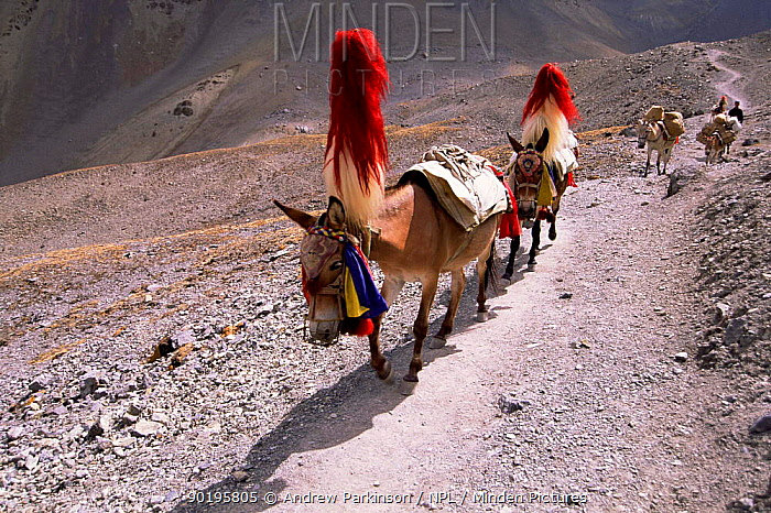 Traditional Mule train descends from Thorung La Pass, Annapurna circuit, Nepal  -  Andrew Parkinson/ npl