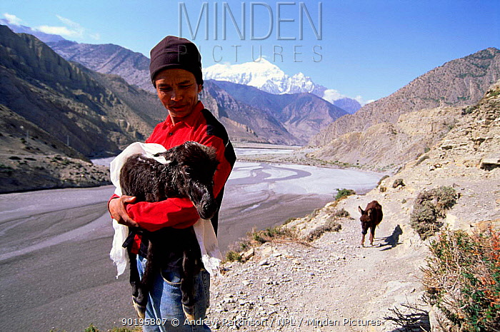 Man carries newborn mule up Kali Gandaki gorge with exhausted mother behind  -  Andrew Parkinson/ npl