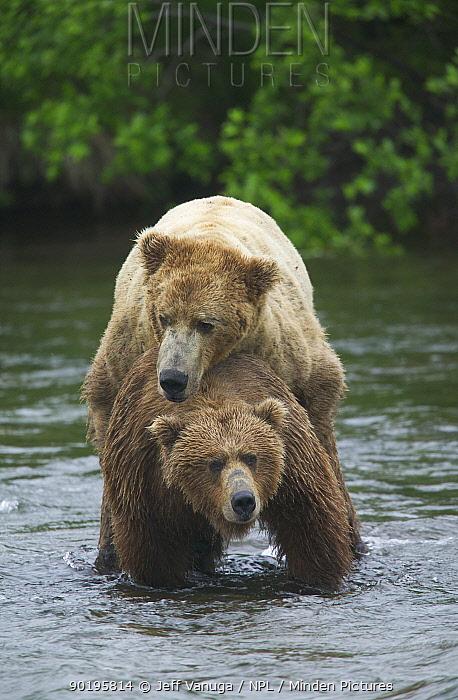 Grizzly bears mating (Ursus arctos horribilis) Katmai NP Alaska, USA  -  Jeff Vanuga/ npl
