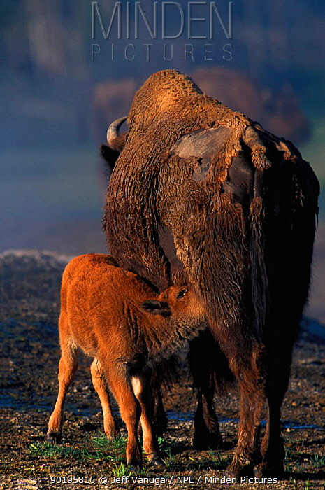 Bison suckling calf (Bison bison) Yellowstone NP, Wyoming, USA  -  Jeff Vanuga/ npl