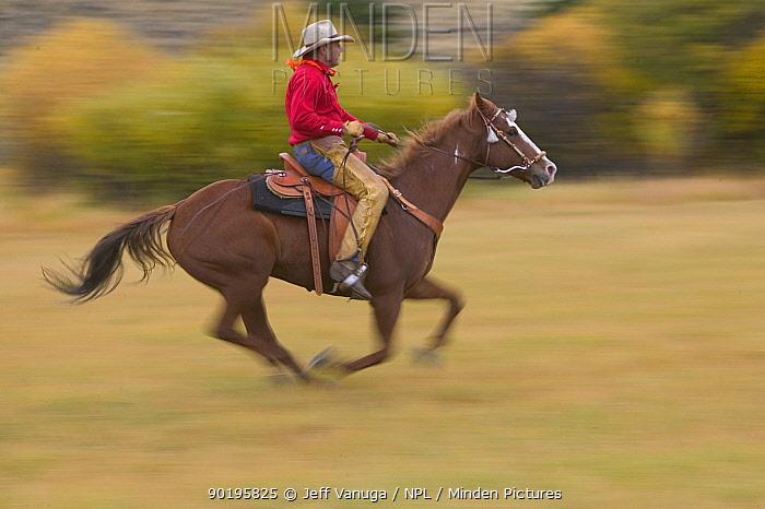 Cowboy galloping, Wyoming, USA  -  Jeff Vanuga/ npl