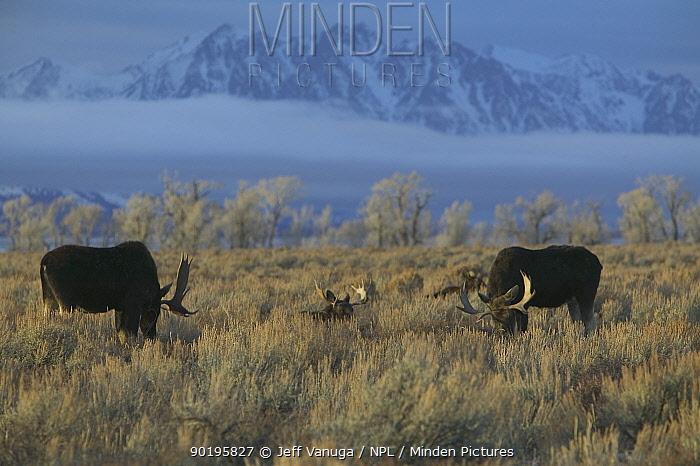 Bull Moose grazing on winter range (Alces Alces) Teton NP, Wyoming, USA  -  Jeff Vanuga/ npl