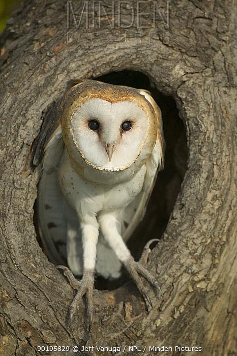 Barn owl at nest hole (Tyto alba) USA  -  Jeff Vanuga/ npl