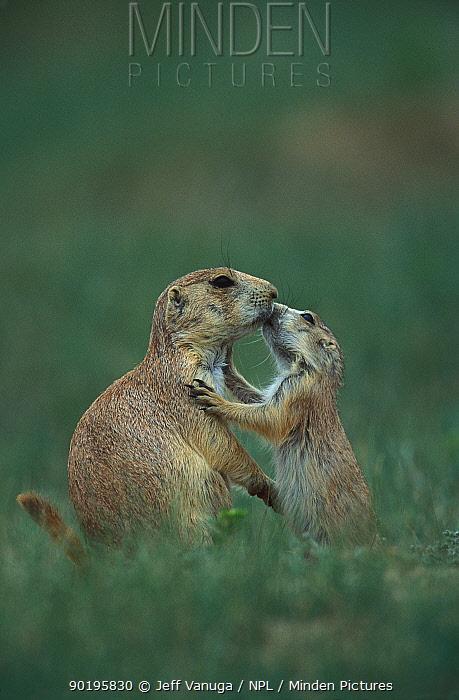 Black tailed prairie dogs grooming, Wyoming, USA (Cynomys ludovicianus)  -  Jeff Vanuga/ npl