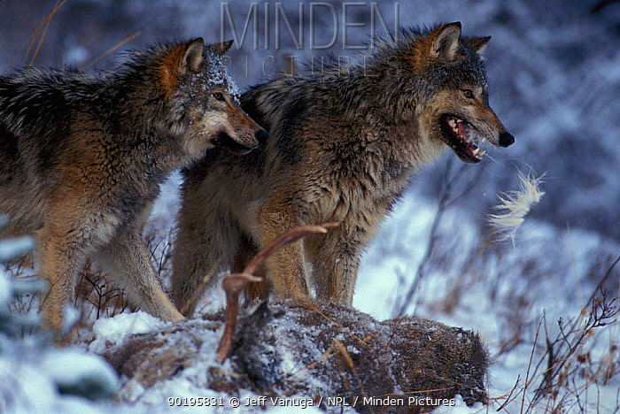 Grey wolves feed on Mule deer killed by pack (Canis lupus) Yellowstone NP, Wyoming, USA  -  Jeff Vanuga/ npl