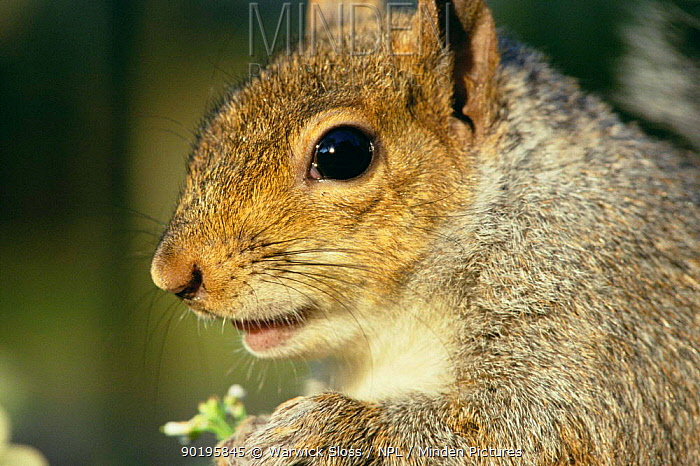 Grey squirrel portrait (Sciurus carolinensis) Bristol, UK  -  Warwick Sloss/ npl