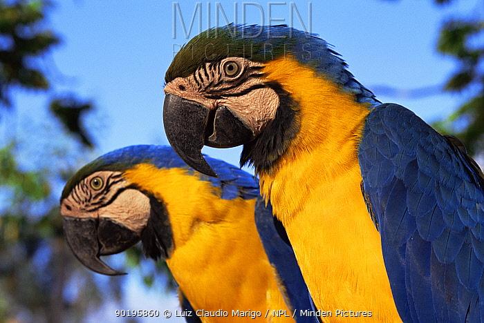 Blue and yellow macaw pair portrait (Ara ararauna) Minas Gerais, Brazil  -  Luiz Claudio Marigo/ npl
