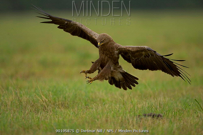 Lesser spotted eagle (Aquila pomarina) coming in to land in grass field, Bulgaria  -  Dietmar Nill/ npl