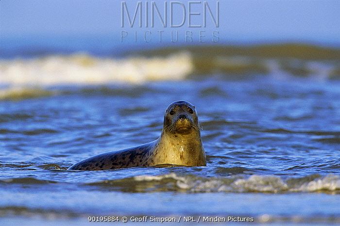 Grey seal in sea (Halichoerus grypus) Lincolnshire, UK  -  Geoff Simpson/ npl