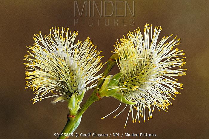 Grey willow catkins (Salix cinerea) Cheshire, UK  -  Geoff Simpson/ npl