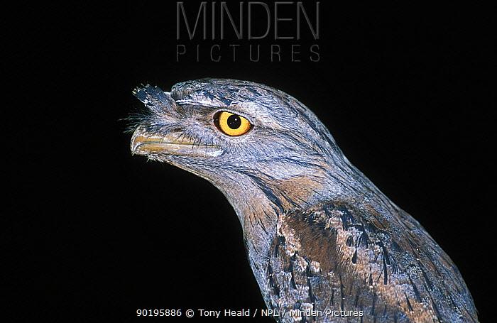 Tawny frogmouth profile portrait (Podargus strigoides) Northern Territory, Australia  -  Tony Heald/ npl