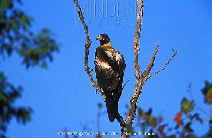 Wedge tailed eagle perched (Aquila audax) Northern Territory, Australia  -  Tony Heald/ npl