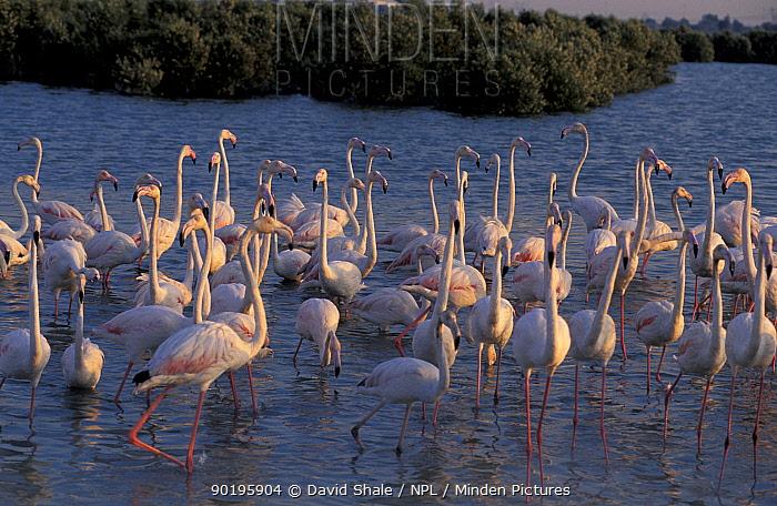 Greater flamingoes (Phoenicopterus ruber) Khor Dubai, United Arab Emirates  -  David Shale/ npl