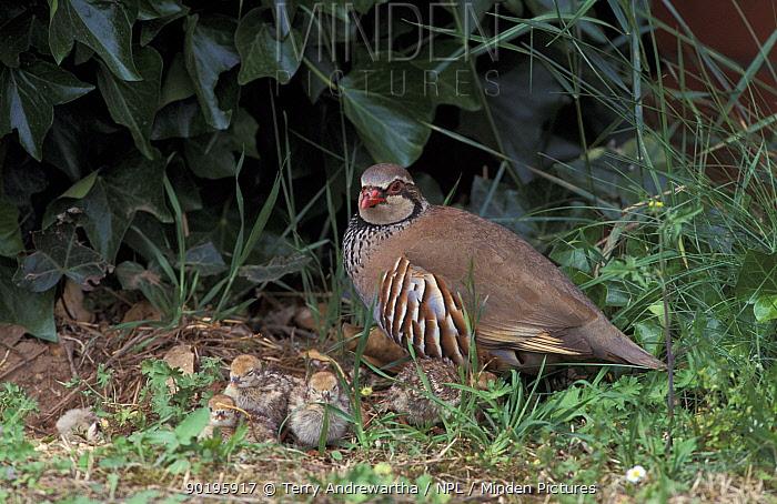 Red legged partridge with chicks (Alectoris rufa) Norfolk, UK  -  Terry Andrewartha/ npl