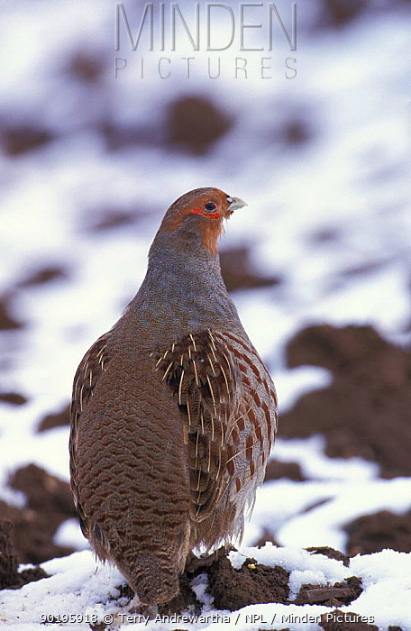 Grey partridge in snow (Perdix perdix) Norfolk, UK  -  Terry Andrewartha/ npl