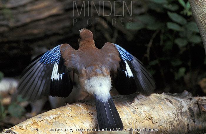 Jay displaying wings spread (Garrulus glandarius) Norfolk, UK  -  Terry Andrewartha/ npl