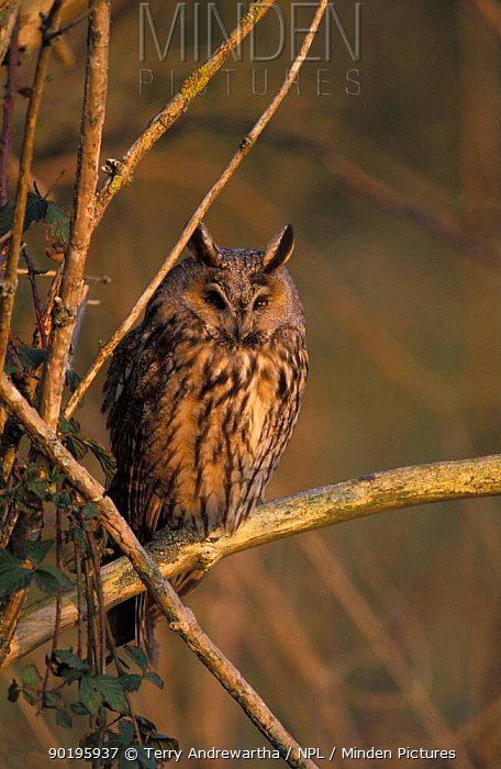 Long eared owl (Asio otus) UK  -  Terry Andrewartha/ npl