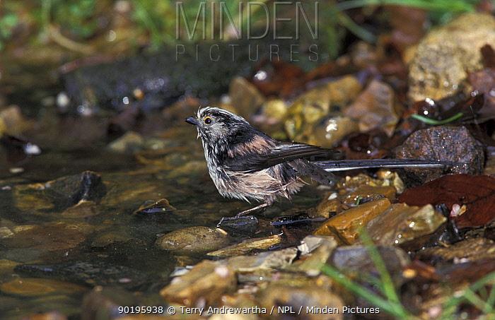 Long tailed tit bathing (Aegithalos caudatus) Norfolk, UK  -  Terry Andrewartha/ npl