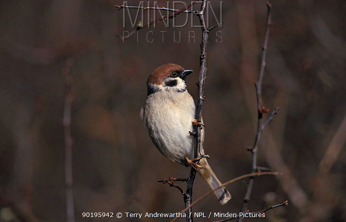 Tree sparrow (Passer montanus) UK  -  Terry Andrewartha/ npl