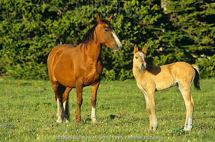 Wild horse (Equus caballus) mustang and foal, Pryor Mountains, Montana, USA  -  Lynn M. Stone/ npl