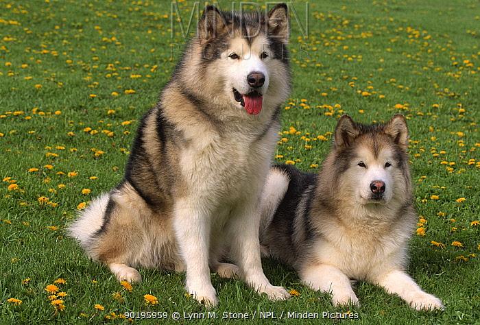Two Alaskan malamute dogs (Canis familiaris) USA  -  Lynn M. Stone/ npl