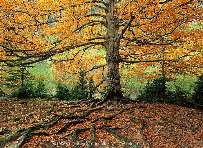 Ancient Beech tree (Fagus sylvatica) in autumn colours, in Valle de Ordesa, Ordesa NP, Pyrenees, Spain, Europe  -  Angelo Gandolfi/ npl