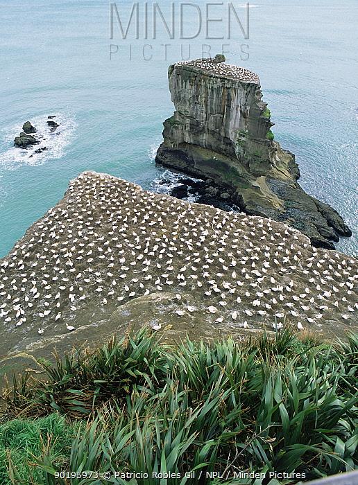 Australasian gannet nesting colony (Morus serrator) New Zealand  -  Patricio Robles Gil/ npl