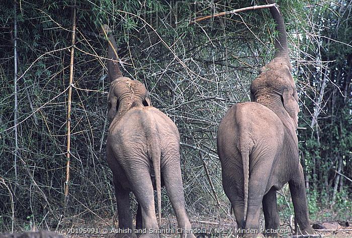 Indian elephants feed on bamboo (Elephas maximus) Bandipur Tiger Reserve, Karnataka, India  -  Ashish Shanthi Chandola/ npl