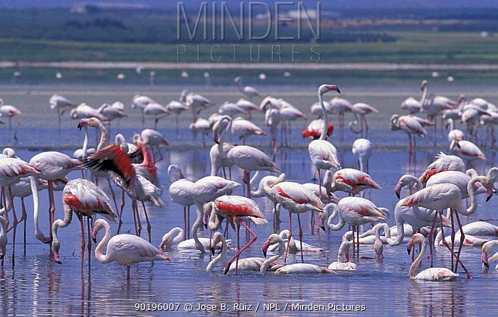 Greater flamingoes feeding (Phoenicopterus ruber) Laguna de Funtepiedra NP, Spain  -  Jose B. Ruiz/ npl