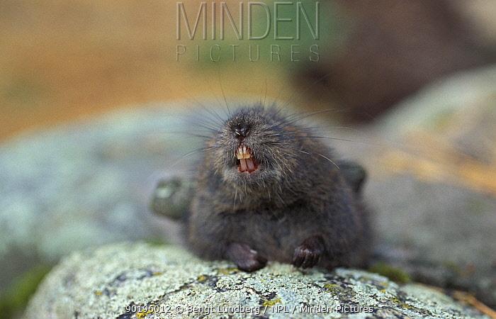 Field vole showing teeth (Microtus agrestis) Sweden  -  Bengt Lundberg/ npl