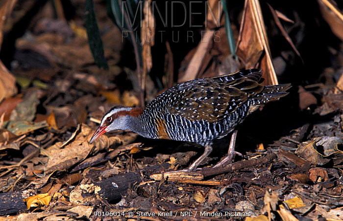 Buff banded rail (Rallus philippensis) Queensland, Australia (Gallirallus  -  Steve Knell/ npl