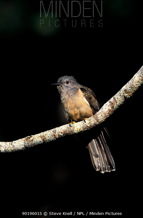 Brush cuckoo (Cuculus variolosus) Queensland, Australia  -  Steve Knell/ npl