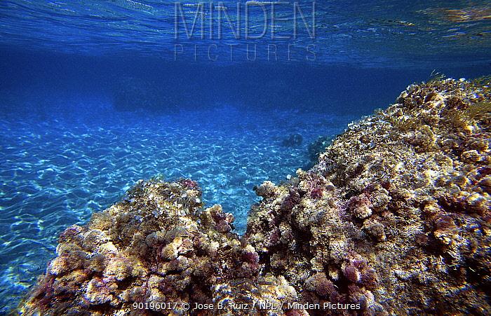 Algae covering rocky outcrop on sandy seabed Mediterranean Includes epiphitic alga (Falkenbergia rufolanosa) red and cotton-like, it is the tetrasporaphitic phase of (Asparagopsis armata))  -  Jose B. Ruiz/ npl