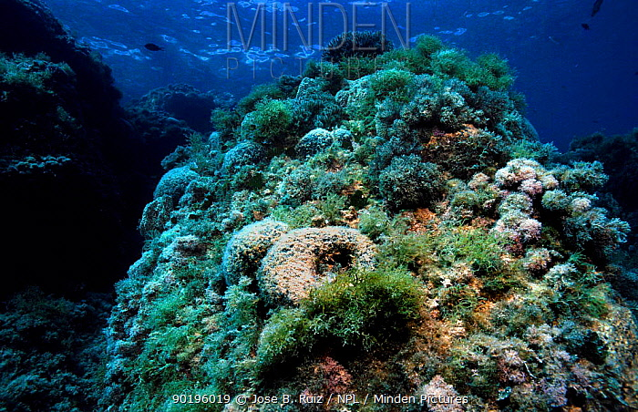 Photophilic algae covering well illuminated rocks on seabed, includes (Codium bursa) alga Mediterranean  -  Jose B. Ruiz/ npl