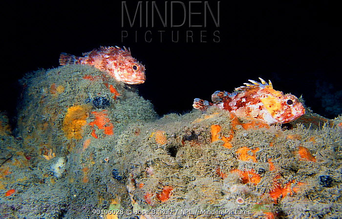 Two Scorpionfish (Scorpaena scrofa) Mediterranean  -  Jose B. Ruiz/ npl