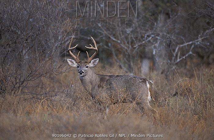 Whitetail deer stag (Odocoileus virginianus) Coahuila, Mexico  -  Patricio Robles Gil/ npl