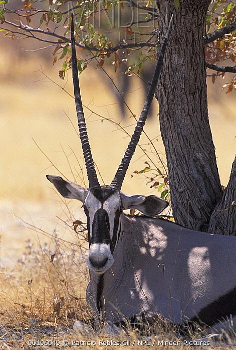 Gemsbok resting in shade of tree (Oryx gazella gazella) Namibia  -  Patricio Robles Gil/ npl