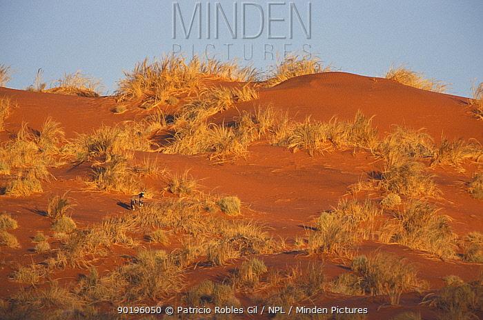 Gemsbok on sand dune (Oryx gazella gazella) Namibia  -  Patricio Robles Gil/ npl